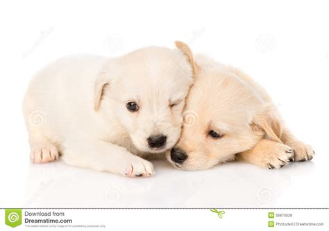 golden retriever puppy white spot on golden retriever puppy isolated on white stock
