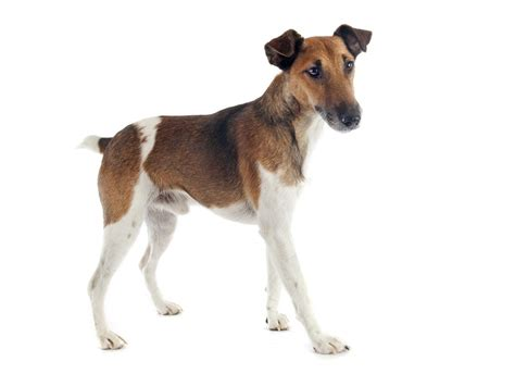 fox breed fox terrier smooth dogs breed information omlet
