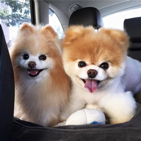 what does a shih tzu pomeranian look like are pomeranians cuter than shih tzu shih tzu city