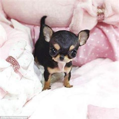 new puppies proudly shows new 8k teacup chihuahua on instagram daily mail