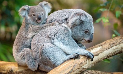 female koala pouch fluffy and french multimedia dawn com
