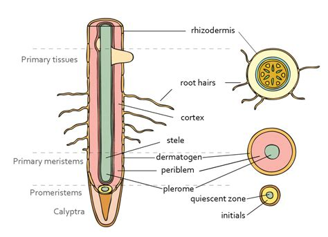 cross section of the root chapter 5 plant organs organography