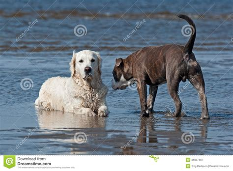 brindle golden retriever dogs meeting on the royalty free stock photography image 36337487