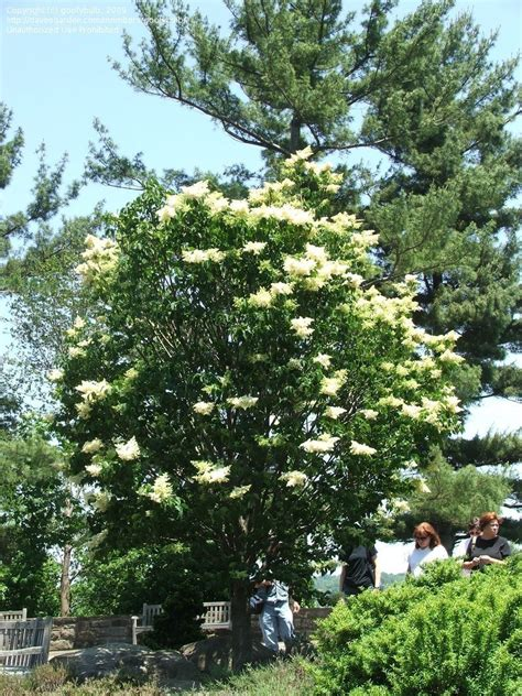 lilac tree information plantfiles pictures japanese tree lilac ivory silk