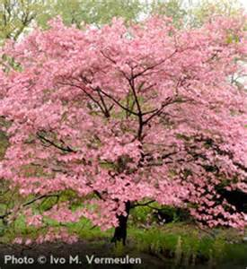 pink dogwood tree growth rate