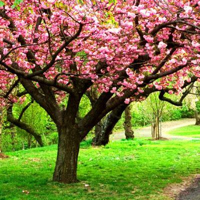 buy flowering tree seeds   nursery  largest