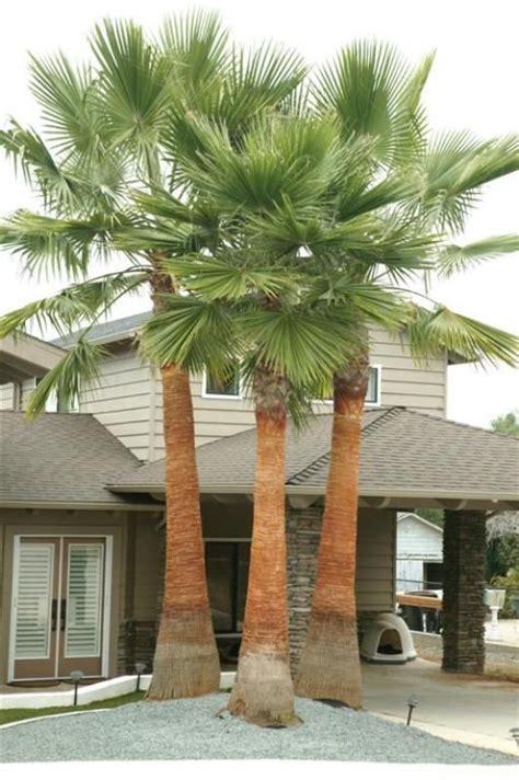 planting fan palm trees 25 best ideas about fan palm on