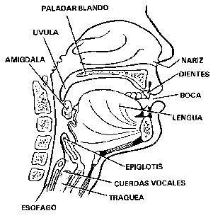 vestibulo laringeo glotis descripcion de los trastornos de lenguaje y la comunicaci 211 n