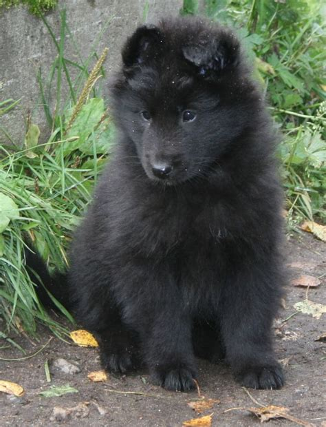 groenendael puppies 25 best ideas about belgian shepherd on black dogs belgian and