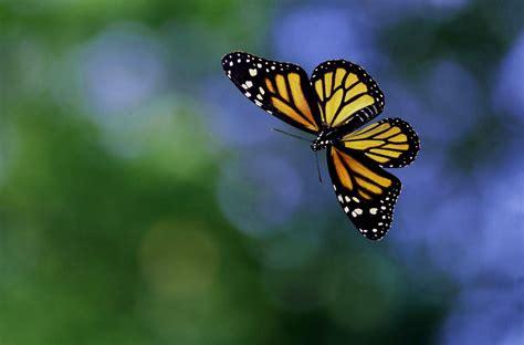 imagenes jpg mariposas 4 bonitas fotos de mariposas volando imagenes de mariposas