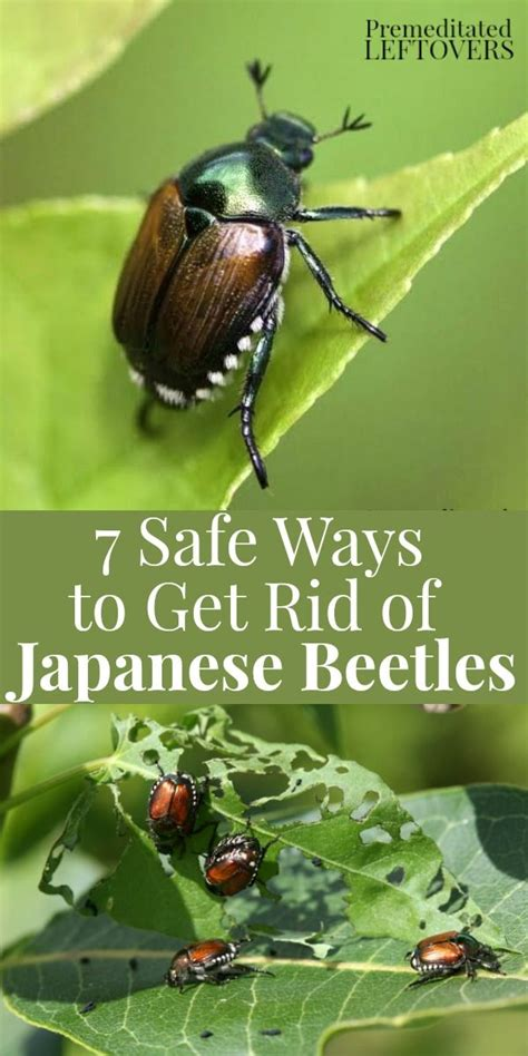 best 25 japanese beetles ideas on pinterest killing japanese beetles gardening and organic