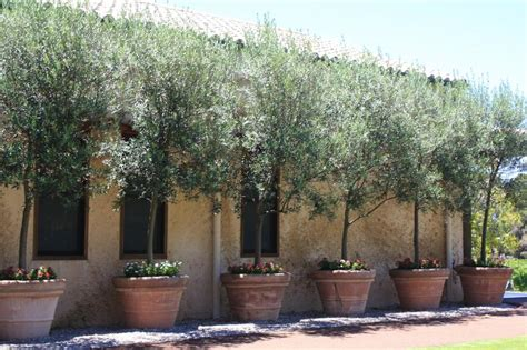 potted olive trees pots and planters pinterest