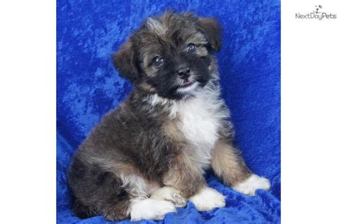 shelter puppies for sale find puppies for sale puppyspot find the right puppy autos post