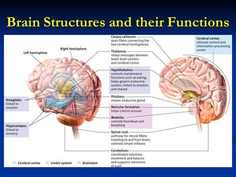 sections and functions of the brain sections of the brain and their functions 28 images 25