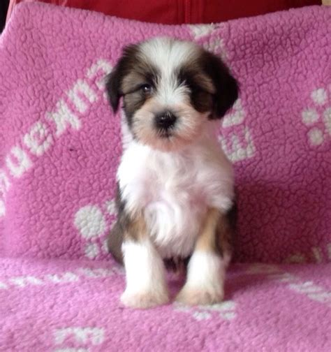 tibetan terrier puppies tibetan terrier puppies mold clwyd pets4homes