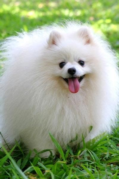 how many types of pomeranians are there 1000 ideas about types of dogs on chow chow dogs chow chow puppies and