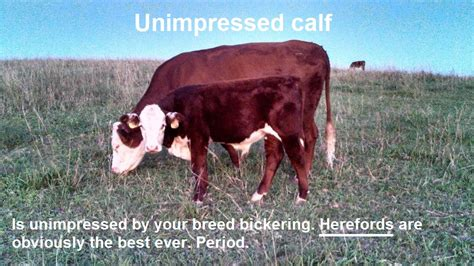Calves Meme - breeds of cattle they aren t all the same the cow docs