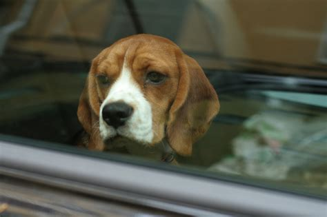 dogs in cars 8 essential things to do when you see a left in a car barkpost