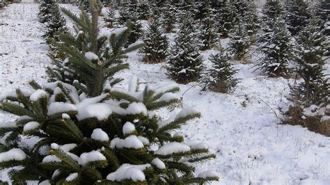 utah tree permits forest service harvest your own tree permits go on sale in idaho forests boise state radio