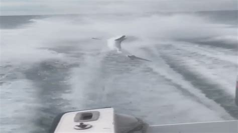 shark dragged to death behind boat fwc identifies men in video dragging shark behind boat