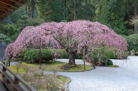 a weeping cherry blossom tree gardening pinterest
