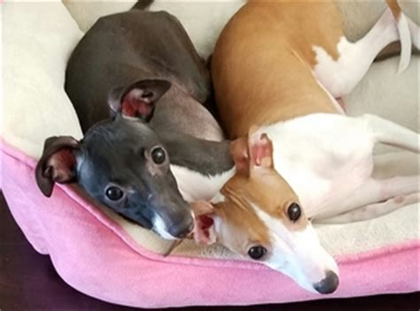 italian greyhound puppies florida view ad italian greyhound puppy for sale florida ta