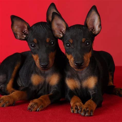 manchester terrier puppies 1000 ideias sobre manchester terrier no manchester terrier preto e