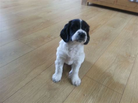 spaniel puppies for sale springer spaniel puppies for sale bristol bristol pets4homes