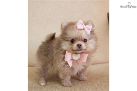 teacup pomeranians for sale in louisiana mini pomeranian puppies for sale in louisiana