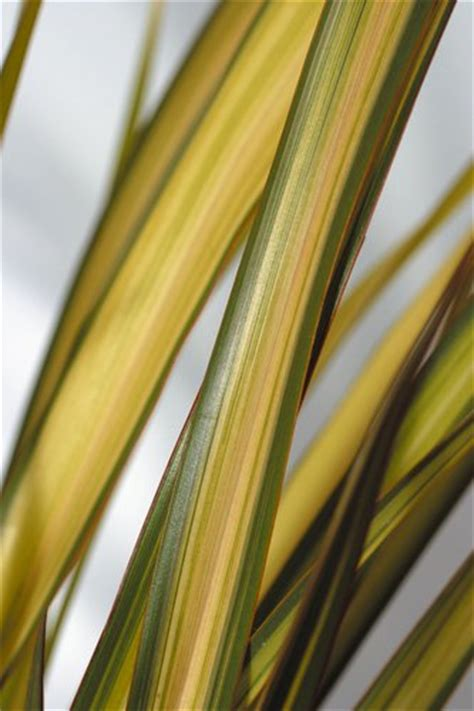 Images Of Plants Phormium Apricot Queen Apricot Queen New Zealand Flax