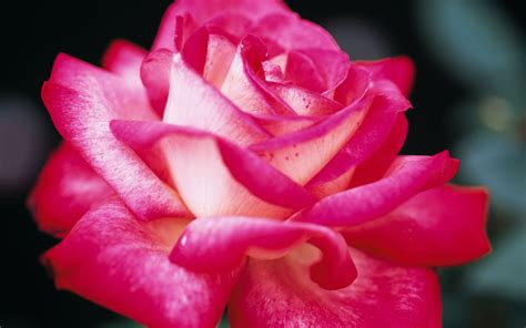 wallpaper pink rose pink rose wallpaper 887