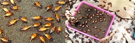 Tempat Jangkrik Pakan Burung pak sugeng penjual telur jangkrik budidaya ternak jangkrik