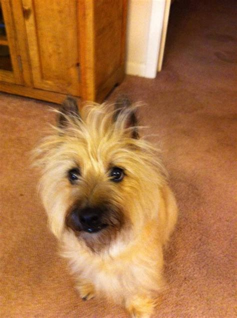 cairn terrier summer haircut cairn terrier summer haircut cairn terrier summer cut