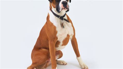 Animals dogs boxer dog wallpaper   AllWallpaper.in #1754