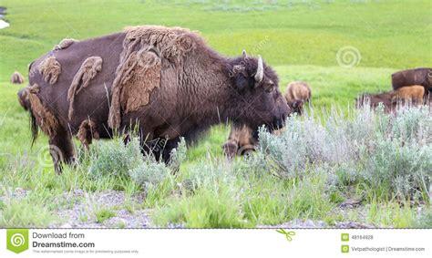 buffalo shedding winter coat at yellowstone national