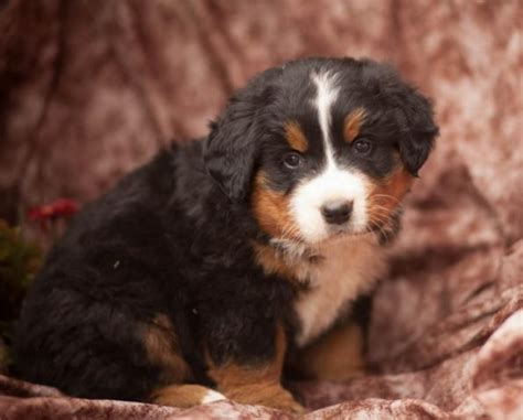 bernese mountain puppies for sale in michigan angie bernese mountain puppy for sale handmade michigan