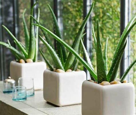 tanaman hias pembersih udara  ruangan  wajib kita
