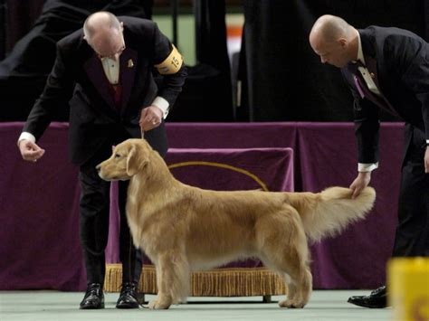 show golden retriever past winners and competitors at the westminster show