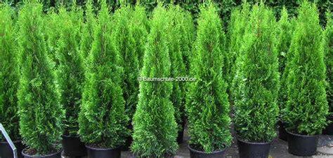 pflanzen kaufen heckenpflanzen kaufen diese 5 dinge solltest du beachten
