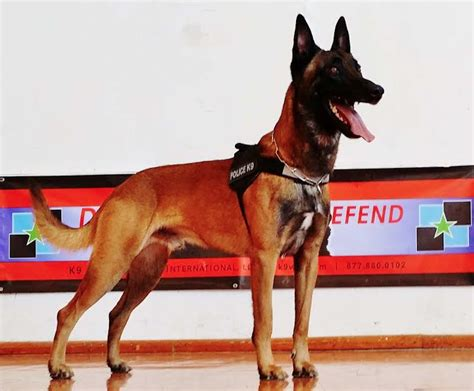 trained service dogs for sale officially certified k9 s for sale malinois service dogs for sale