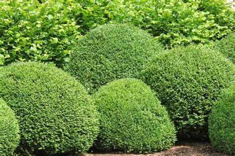 zone 7 evergreen shrubs choosing evergreen shrubs for