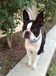 Boston Terrier Rescue Adoption The Boston Needs A Loving Home