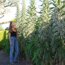 Tropical Perennial Plants - echium pininana snow tower seeds echium pininana alba