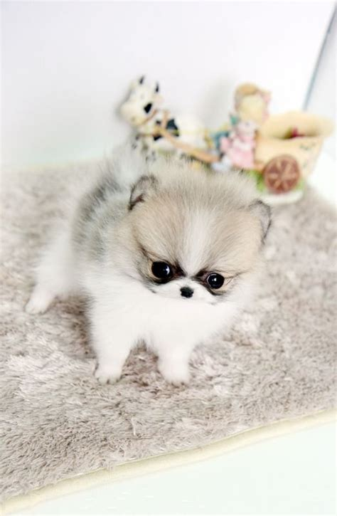 micro teacup pomeranian puppies pin by emily burlington on pigs puppies and animals