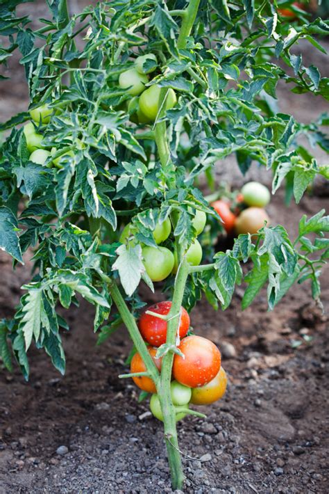 nistkasten wann aufhängen tomaten richtig pflanzen tomaten richtig pflanzen der gro