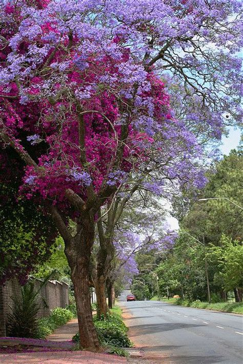 beautiful trees for front yard jararanda trees with bougainvillea in johannesburg that i