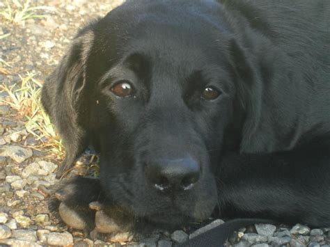 Labrador Retriever Shedding by Non Shedding Dogbreeds Wallpaper