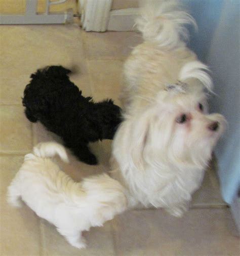 maltipoo shih tzu mix maltese shih tzu puppies maltese breed unite rachael edwards