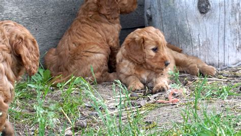 goldendoodle puppy idaho home emmett idaho goldendoodles mini golden retrievers