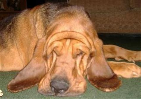 bloodhound puppies for sale in va breezy hill bloodhounds bloodhound breeders with puppies for sale in virginia